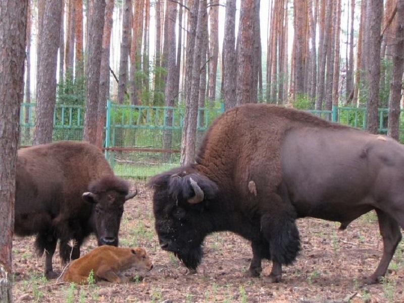 Пара бизонов в воронежском зоопитомнике в четвертый раз стала родителями