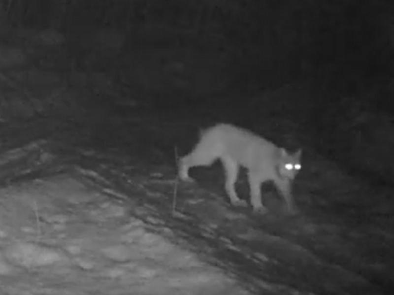 Стеснительная рысь показалась в Воронежском заповеднике впервые за 95 лет