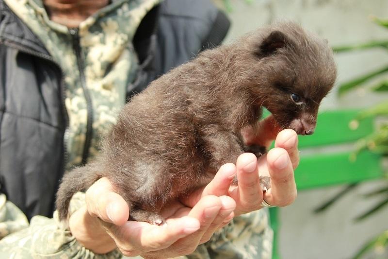 В Воронеже опубликовали фото новорожденной чернобурой лисички