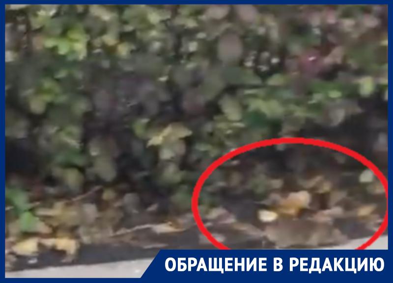 На рассадник грызунов в центре Воронежа пожаловались люди