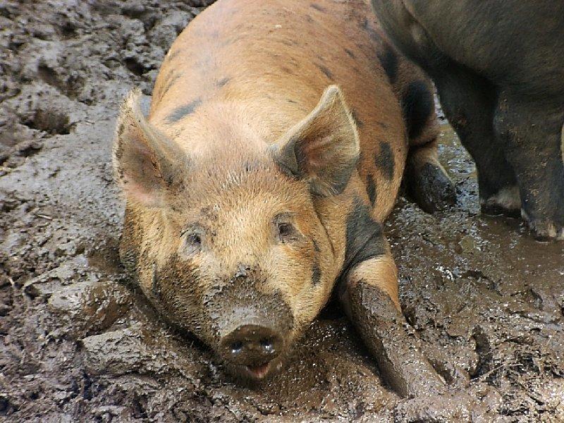 Найдена вспышка африканской чумы свиней вТатарстане