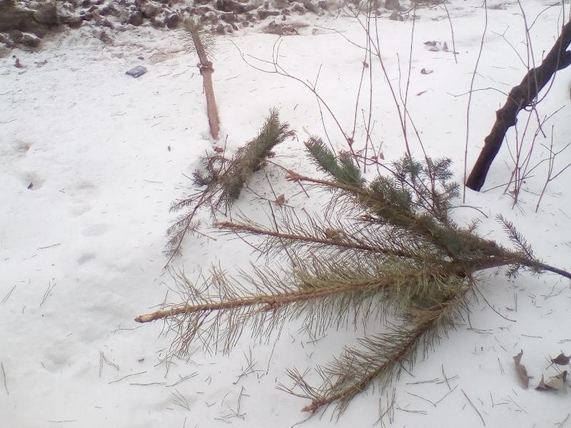 Воронежцы нестандартным образом избавились от надоевшей сосны