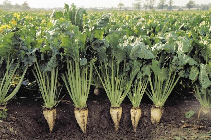 Три района Воронежской области лидируют по севу сахарной свёклы