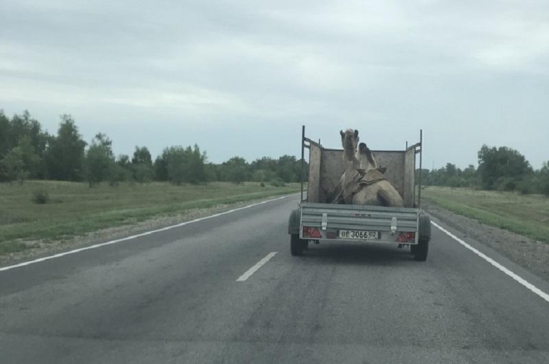 Верблюд вприцепе стал героем социальных сетей вВоронеже
