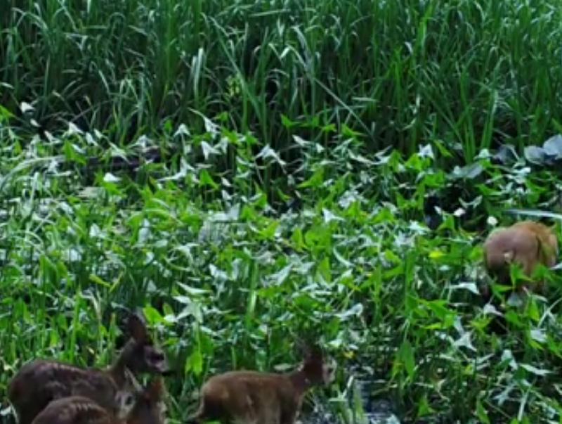 Многодетную семью косуль сняли на видео в Воронежском заповеднике