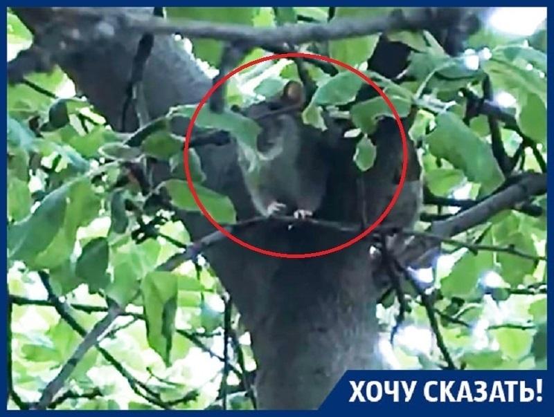 Крысы-скалолазы десантируются в квартиры воронежцев