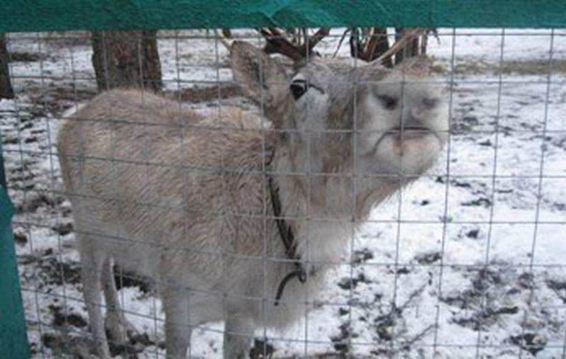 Вворонежском зоопитомнике возникла самка северного оленя