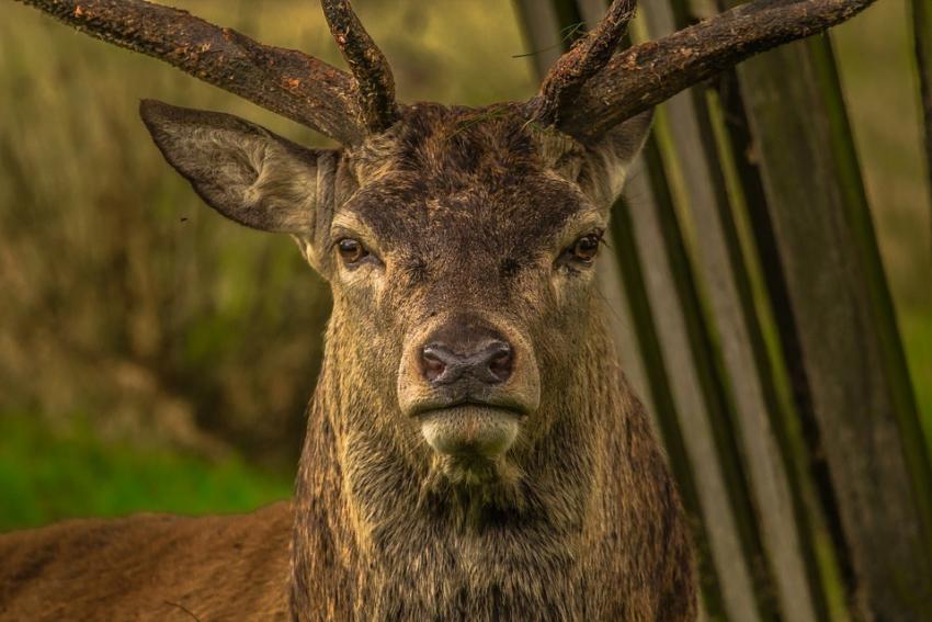 ВВоронежской области выросло количество косуль, оленей илосей
