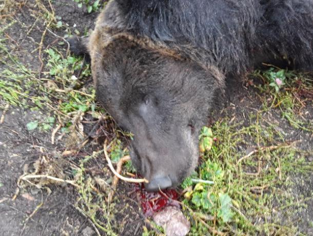 Ветеринары рассказали, был ли бешеным воронежский медведь-убийца