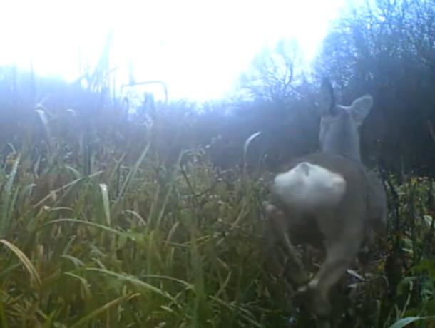 Стеснительные косуля  и  заяц попали в фотоловушку в Воронежской области