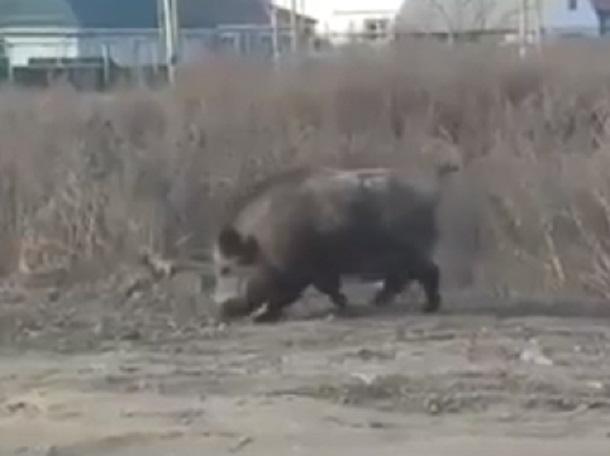 Пугающего людей кабана сняли на видео под Воронежем