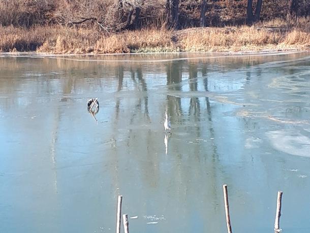 Одинокий лебедь замерзает на реке в Воронежской области