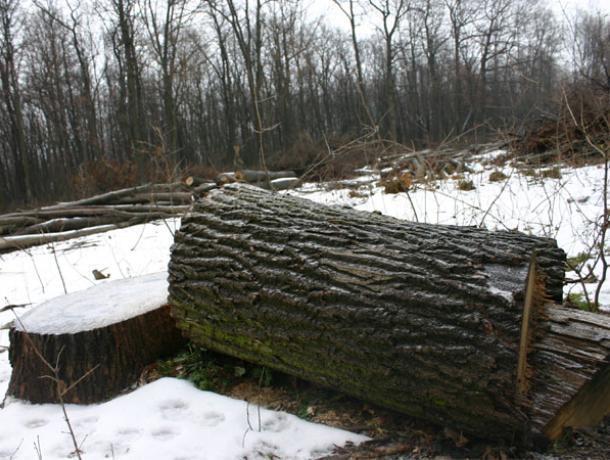 Воронежца поймали на рубке 5 дубов стоимостью 100 тысяч рублей