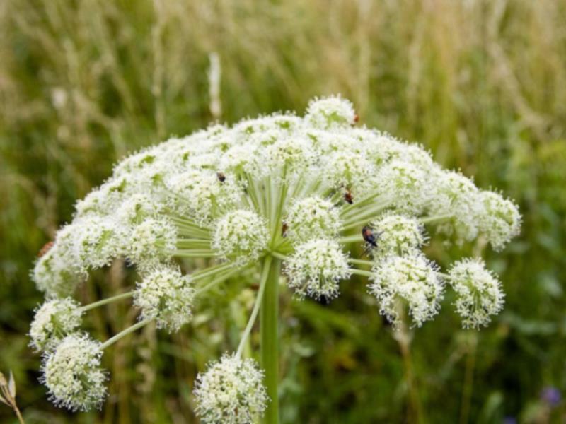 Воронежцам рассказали об опасной траве, вызывающей слепоту