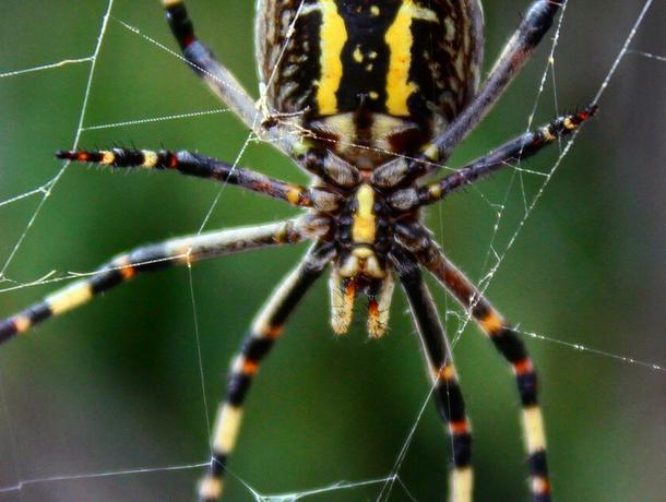 Гигантский ядовитый паук аргиопа попал на фото в Воронеже