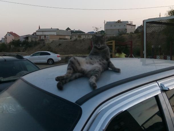 Крымского кота-эксгибициониста сняли кайфующим на воронежском авто